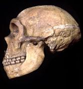 2) Neanderthal