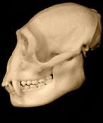 4) Gibbon
