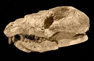 12) Repenomamus
